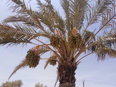 Mixed Use Land for Sale in Al Khatim, Al Ain - Farm For Sale Locacted in Al Khatem
