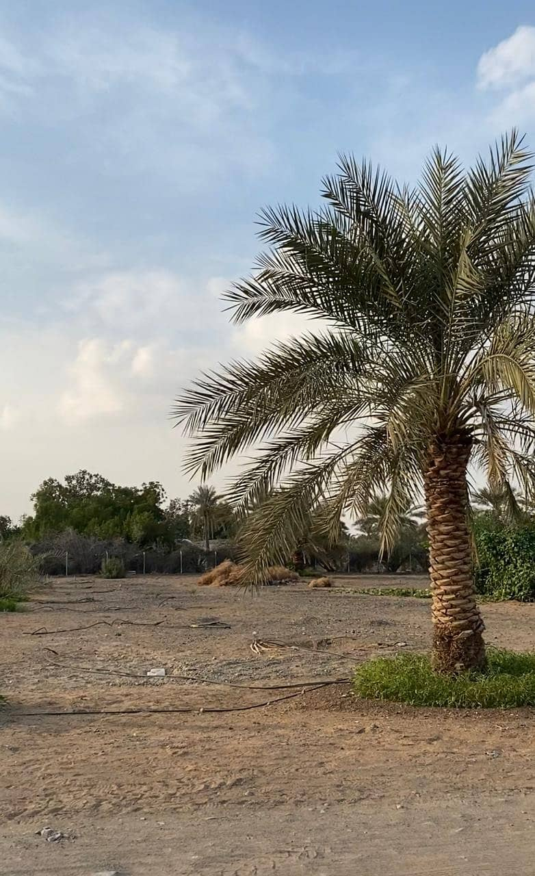 Farm for sale in Al Dhaid (Elever 1) on the new Khorfakkan road